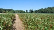 Aroniaplantage