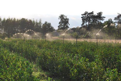 Aronia Plantage