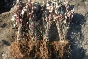 Aronia Pflanzen wurzelnackt