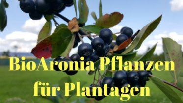 Bio Aronia Pflanzen