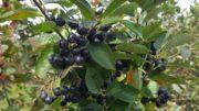 Aronia Pflanzen kaufen